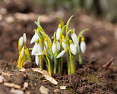 Snowdrop flowers (Galanthus) outdoor — Stock Photo