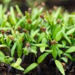 Tomato seedlings - Foto Stock