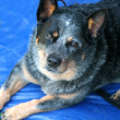 Stock Photo: Blue heeler