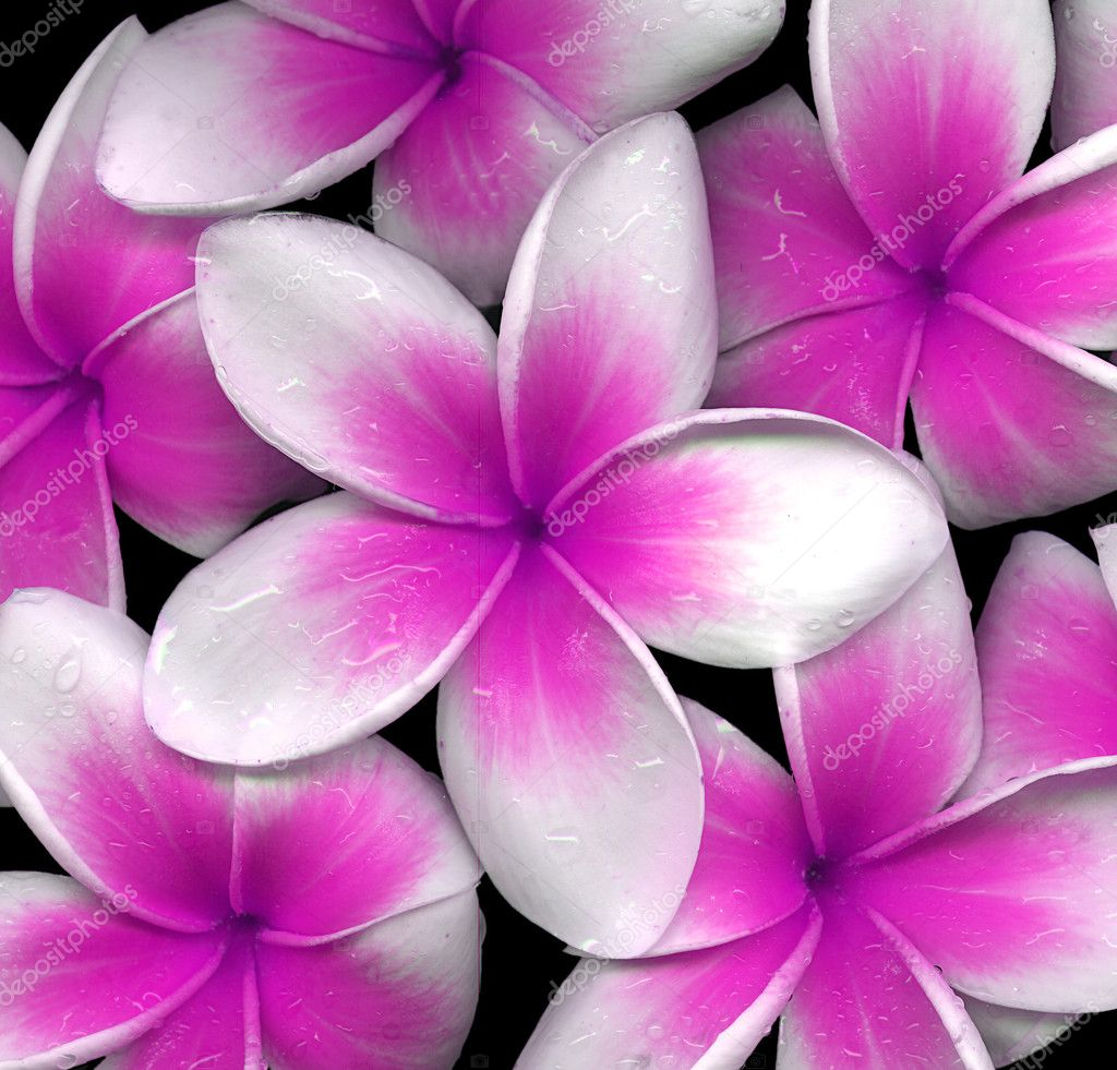 Closeup of pink frangipani flowers — Stock Photo #10481024