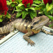 Spiky lizard warming itself in the sun — Stock Photo