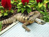 Spiky lizard warming itself in the sun — Stock Photo
