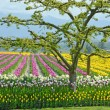 Stock Photo: Colorful tulip farm