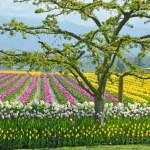Colorful tulip farm — Stock Photo