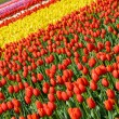 Stock Photo: Colorful tulip rows
