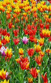 Sunny tulips — Stock Photo