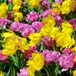 Pink and yellow tulips — Stock Photo