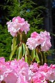 Pink rhododendron bush — Stock Photo