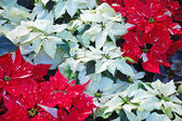 White and red poinsettias — Stock Photo