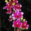 Colorful moth orchids — Stock Photo