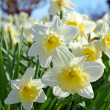 White daffodils — Stock Photo