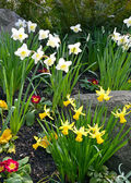 Colorful daffodil garden — Stock Photo