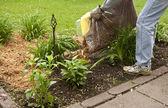 Mulching a flower garden — Stock Photo