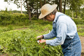 Gardener pruning his plants — Stock Photo