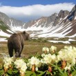 Bear in volcano - Stock Photo