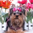 Stock Photo: Yorkshire terrier and flowers