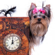 Yorkshire terrier and watch — Stock Photo