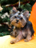 Puppy yorkshire terrier — Stockfoto