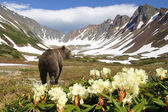 Bear in volcano — Stockfoto