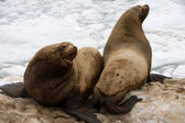 Sea lion — Photo