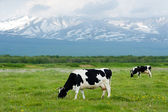Cows grazing — Stockfoto