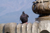 Dove of the fountain — Stock Photo
