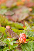 Cloudberry — Stock Photo