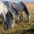 Stock Photo: Horse grazes on meadow