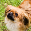 Pekines — Stock Photo