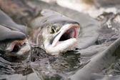 Spawning salmon — Stockfoto