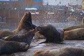 Sea lions. — Stock Photo
