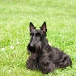 Scottish terrier - Stock Photo