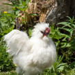 White cock — Photo #10498953