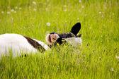 Calf grazes — Stock Photo