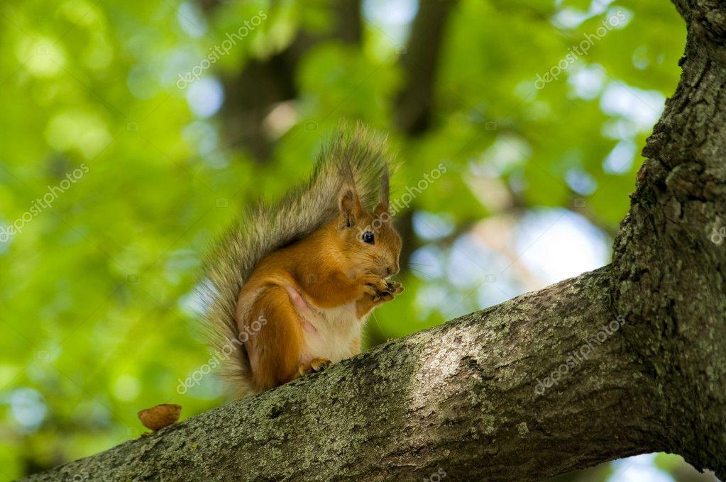 坐树的树枝上的松鼠吃坚果