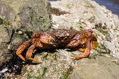 Crab (Erimacrus isenbeckii ) — Stock Photo