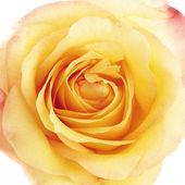 Beautiful yellow rose close-up — Stock Photo
