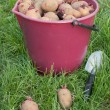Seed potatoes in a bucket - Stock Photo
