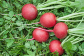 Five red radishes on the grass — Stock Photo