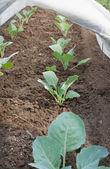 Seedlings under cover — Stock Photo