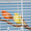 Pet Birds — Stock Photo #8990873