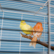 Pet Birds — Stock Photo #8990900