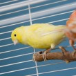Pet Birds — Stock Photo #8990933