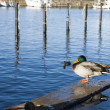 Duck in harbour — Stock Photo