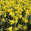 Daffodils Full Frame — Stock Photo #9457561