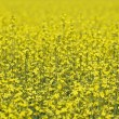 Oilseed Rape — Stockfoto