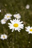 Daisy Flowers — Stock Photo
