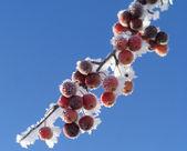 Frozen berries — Stock Photo