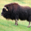 Male musk ox in the prairie — Stock Photo #10453762