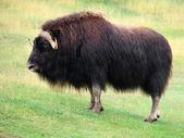 Buey almizclero macho en la pradera — Foto de Stock